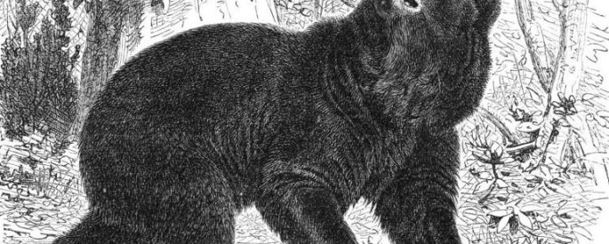 drawing of a bear with dark fur, walking with its nose in the air