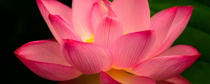 Image of a bright pink lotus flower.