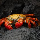 Image of a red crab on black rocks