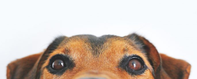 Image of the top portion of a dog's head.