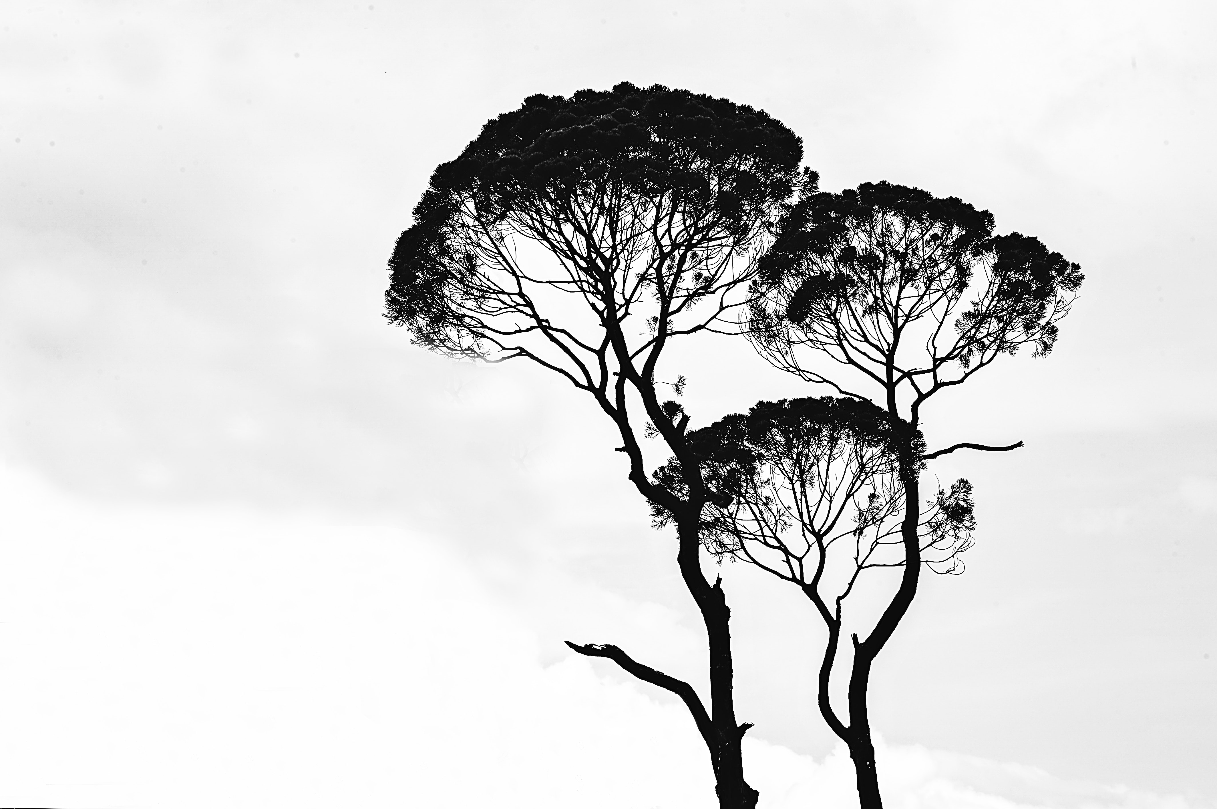 Black and white photograph of tree branches in the sky