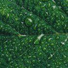 A closeup photograph of dew drops on a green leaf.