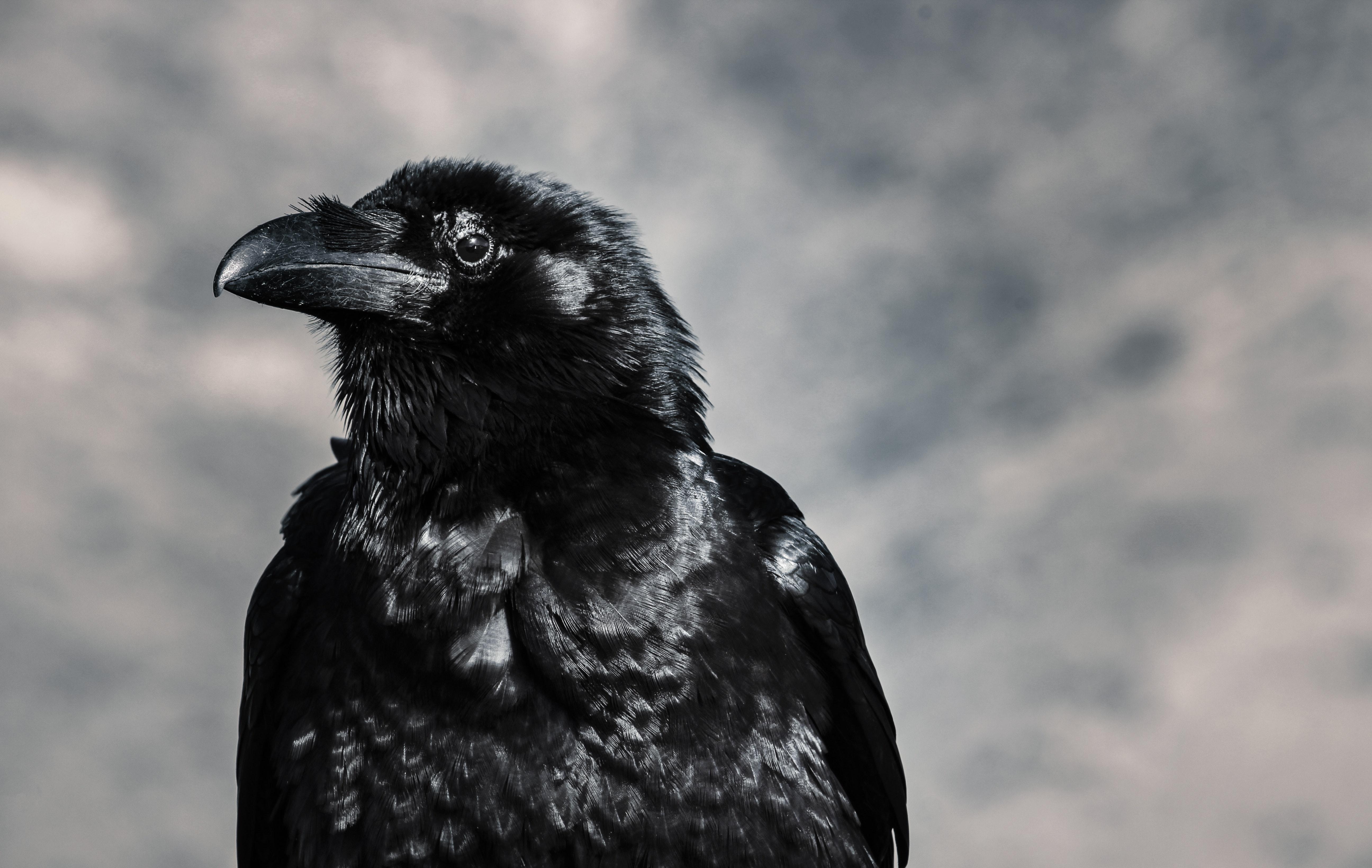 Close up photograph of a black bird