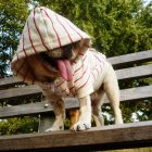 photo of a small, white french bulldog standing a bench wearing a dog hoodie that is white and red striped, with the hood pulled over its head