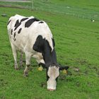 photograph of a black and white spotted cow grazing in a pasture