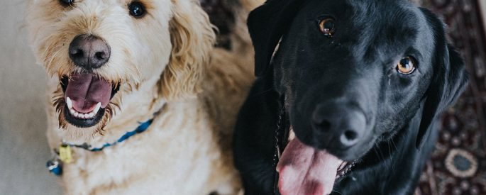 Two dogs, one black one white, smiling up at the camera.