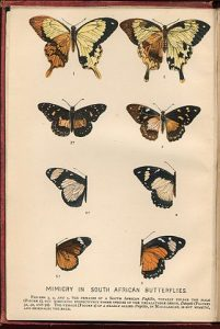 """Mimicry in South African Butterflies - chromolithographic frontispiece of The Colours of Animals by Edward Bagnall Poulton, 1890"" by Edward Bagnall Poulton - own scan of The Colours of Animals by Edward Bagnall Poulton, 1890. Licensed under Public domain via Wikimedia Commons - http://commons.wikimedia.org/wiki/File:Mimicry_in_South_African_Butterflies_-_chromolithographic_frontispiece_of_The_Colours_of_Animals_by_Edward_Bagnall_Poulton,_1890.jpg#mediaviewer/File:Mimicry_in_South_African_Butterflies_-_chromolithographic_frontispiece_of_The_Colours_of_Animals_by_Edward_Bagnall_Poulton,_1890.jpg"