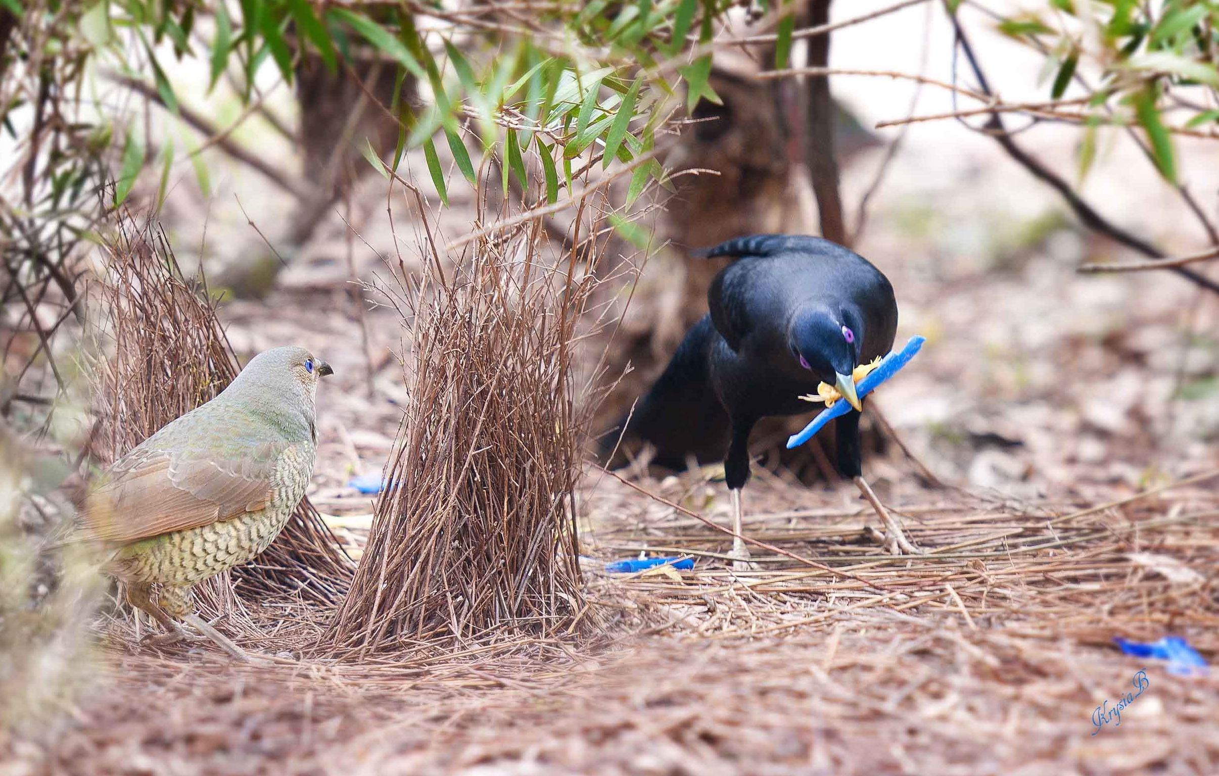 Two birds eating blue worms on the forest floor