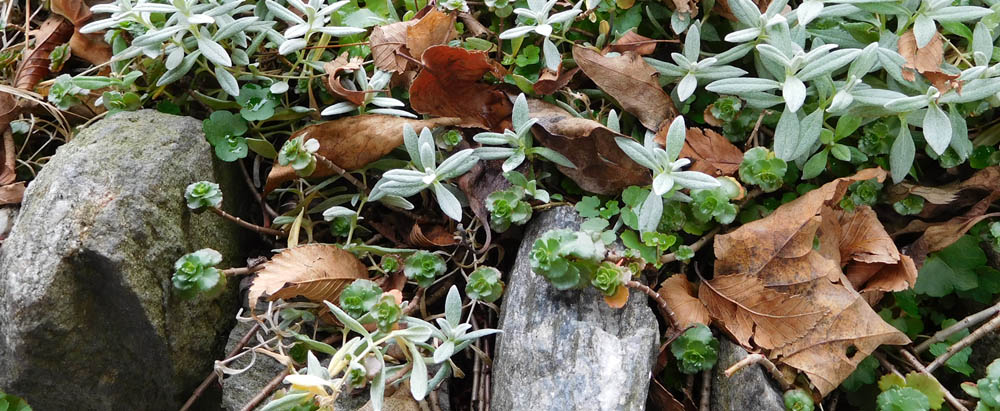 Picture of succulents, dried leaves, and rocks.