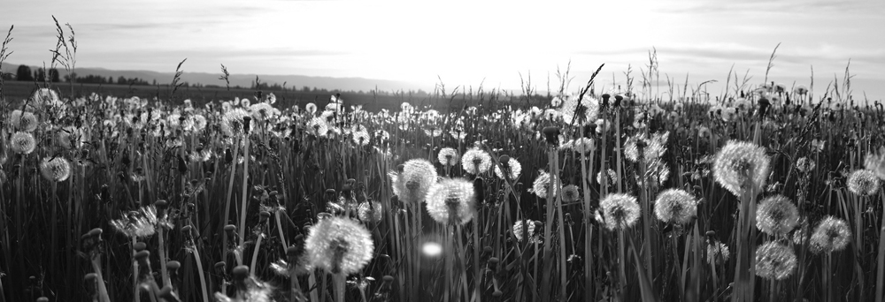 Black and white picture of a dandelion field.
