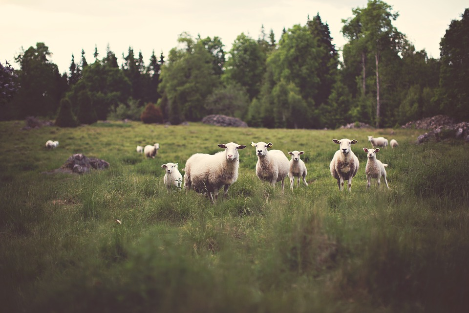 Photo of a group of sheep on a field