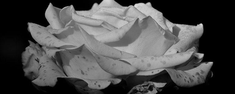 rose-411774_1280