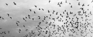 Black and white pictures of a group of seagulls flying in the sky.