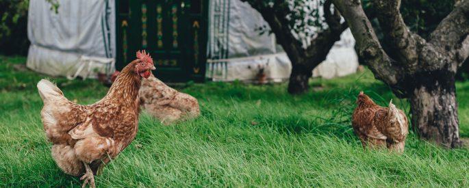 three brown hen under tree