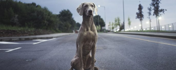 men's brown weimaraner dog on gray asphalt road