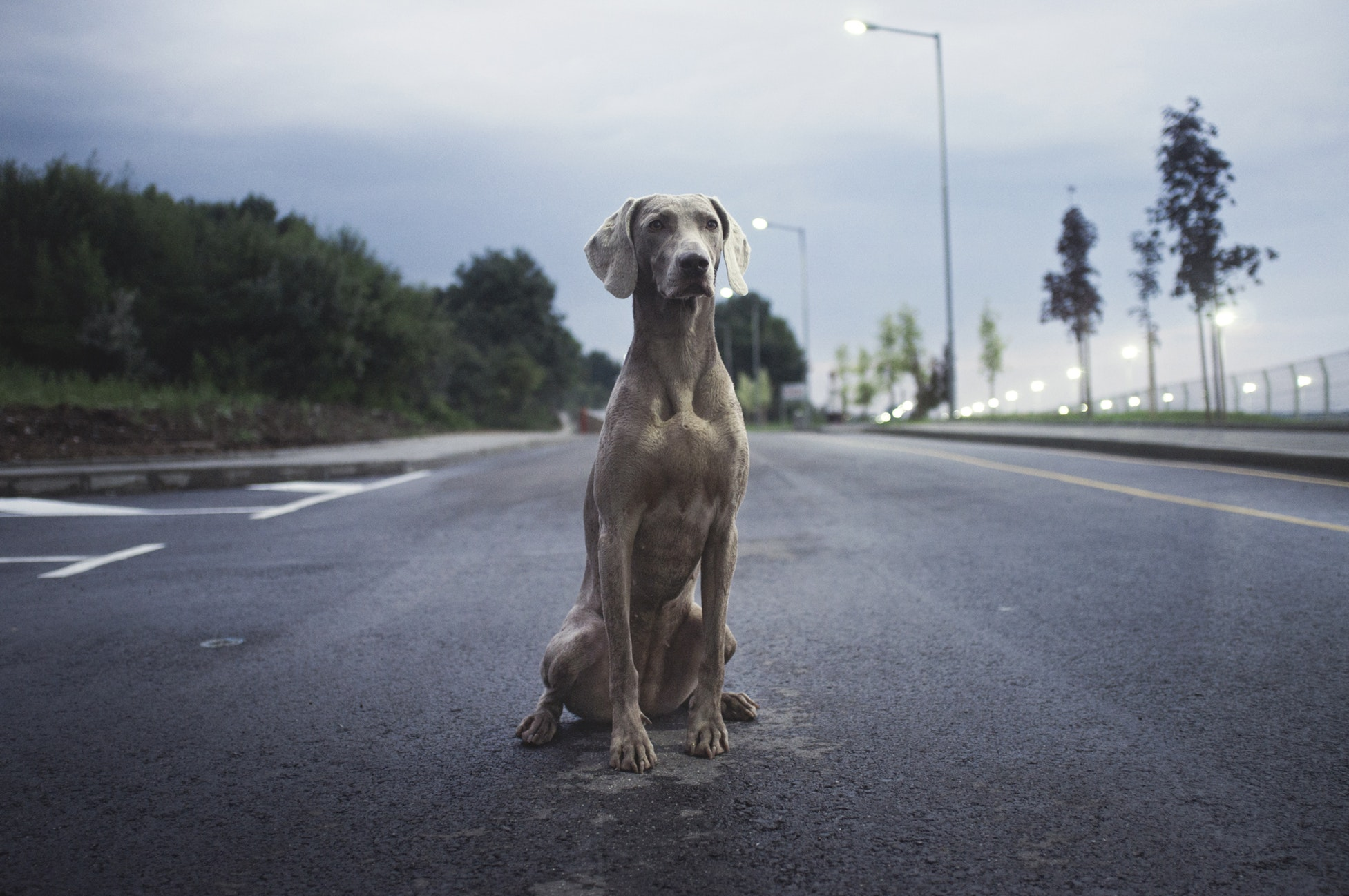 Gray dog sitting in the middle of a road.