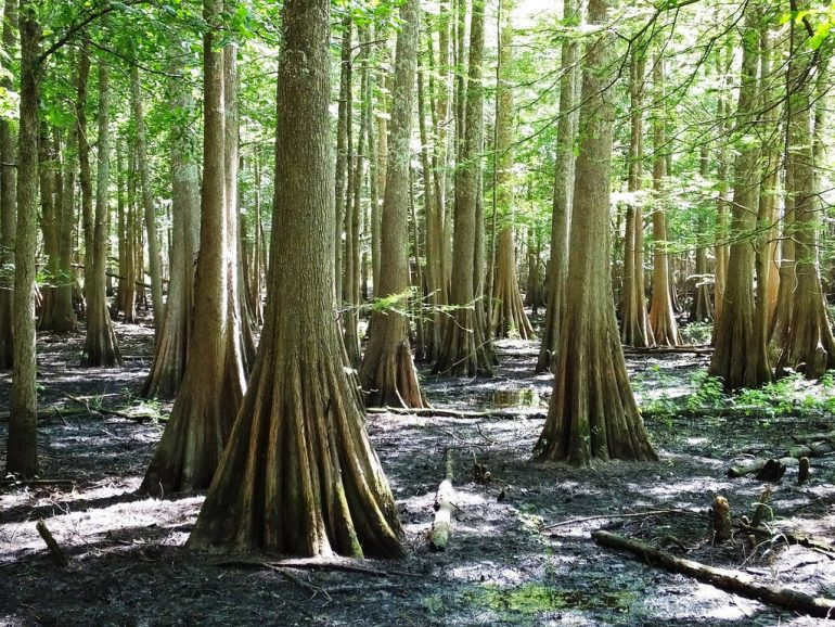 bald-cypress-photo