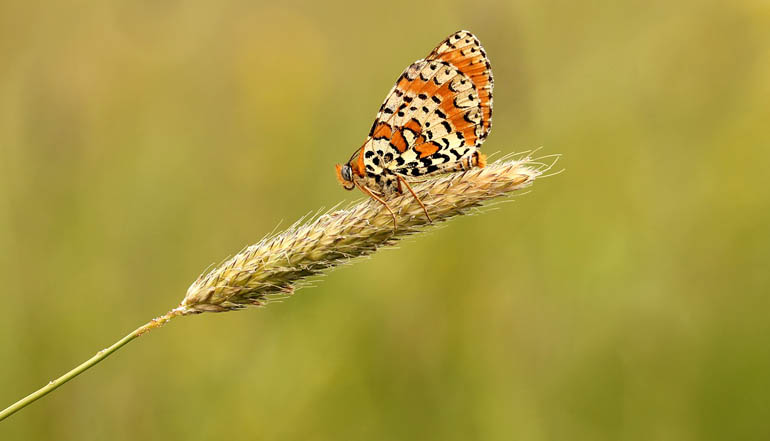 Orange and white striped butterfly sitting on a wheat stalk.