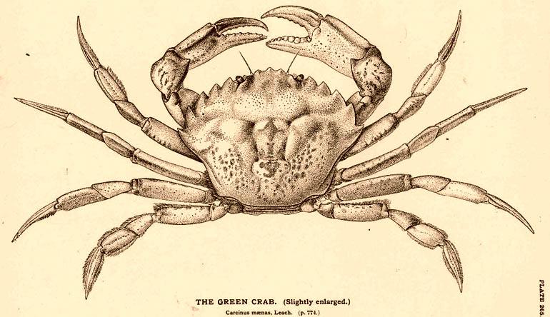 Sketched diagram of a crab.