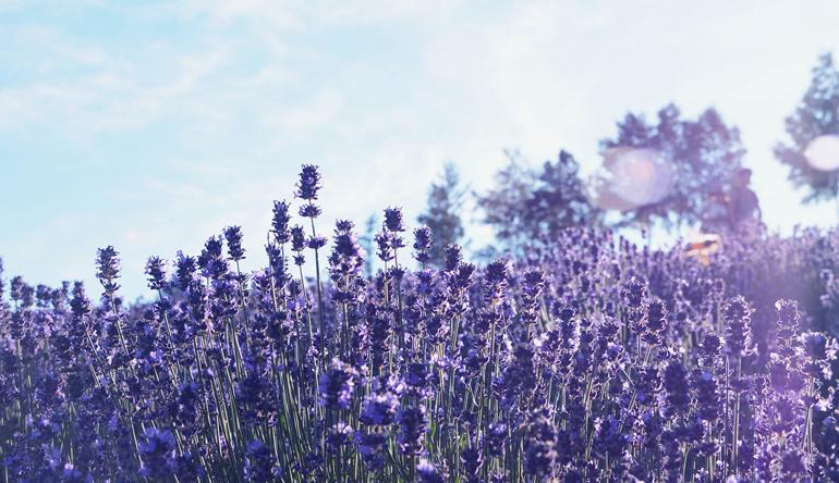 Lavender plants against a blue sky background.