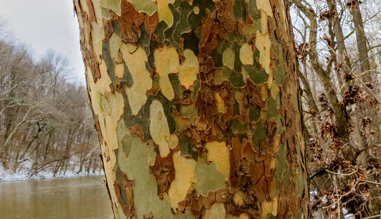 Peeling tree bark.