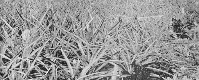 A black and white image of a pineapple field