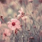 pink flowers with thin stems