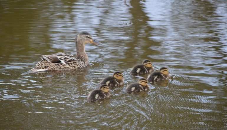 duck and ducklings in water