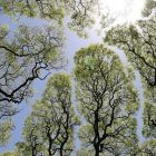 view looking up at green trees against a light blue sky