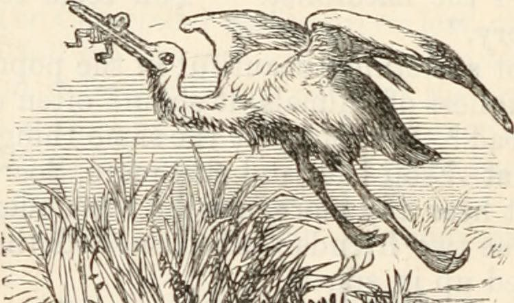 Line drawing of a stork flying up from a pond with a baby in its beak
