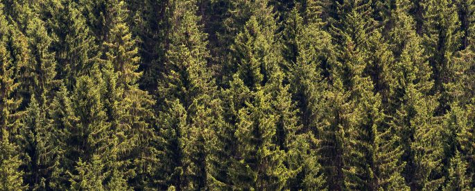 a photograph of coniferous trees tightly packed together