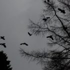 dark photo of black birds flying from a tree