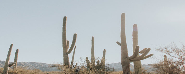 large saguaro cactuses against a desert backdrop