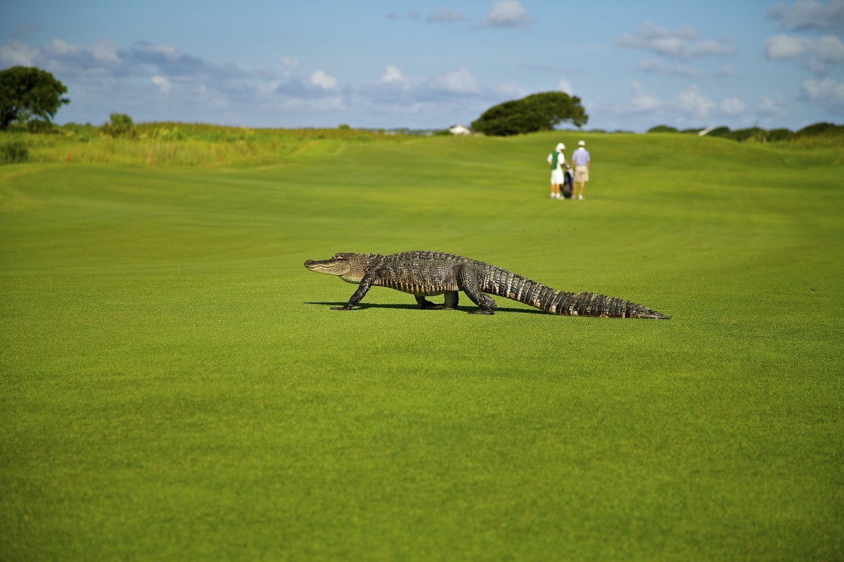 a photograph of an alligator on a golf course