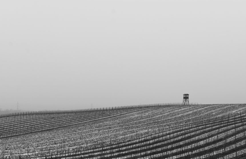 black and white photograph of frost-covered vineyard rows and small wooden tower on the right side, depicts a foggy morning on field