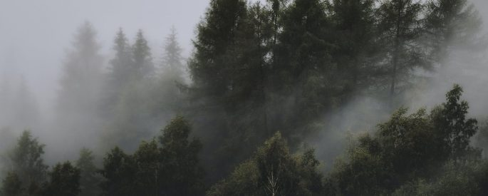 photo of wispy fog settled on the tops of tall, dark pine trees